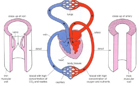 bsl glossary artery, Human Body
