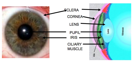 notes the whites of the eyes are the visible part of the sclera which    Anterior And Posterior Segment Of The Eye